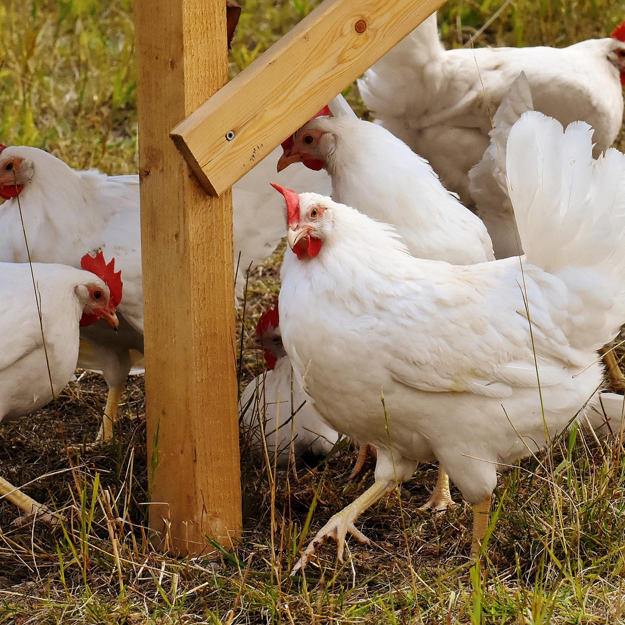 Biohotel Lindengut Demeter Landwirtschaft Hühner