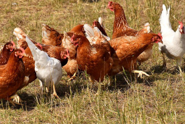 Biohotel Lindengut Demeter-Landwirtschaft Hühner Aktie